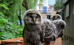 想养一只萌萌的猫头鹰宝宝吗?快去郑州市林业局野生动物救护站认养吧!