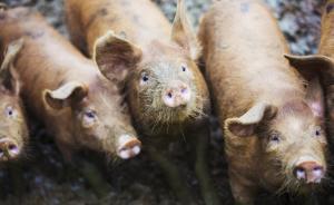 科技日报:猪器官移植非天方夜谭,中国异种移植研究处于领先