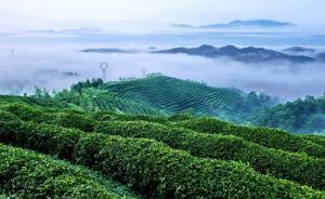 中国已成全球最大产茶国,茶叶产量240多万吨占世界四成
