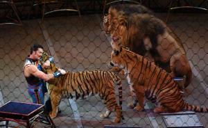 """当地时间2017年5月21日,美国纽约,美国著名的玲玲马戏团在纽约长岛举行谢幕演出。这场表演结束后,这个号称""""地球上最会表演""""的马戏团体将永久关闭,成为历史。图为驯兽师Alexander在表演间隙亲吻老虎。  视觉中国 图"""