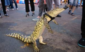 2017年5月21日,沈阳街头亮相鳄鱼肉炸串,一摊主制作鳄鱼肉炸串进行贩售,现场摊主更是霸气遛起了鳄鱼,吸引了不少市民围观。本文图片均为 东方IC 图