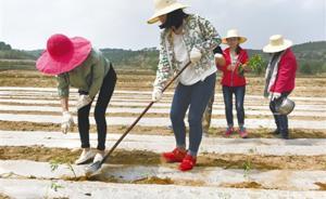 砥砺奋进的五年|白阳镇的万寿菊:农民增收致富的新渠道