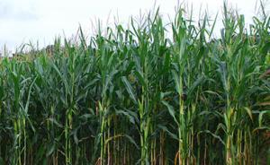 内蒙古专项检查玉米制种田:对发现的非法转基因植株坚决铲除