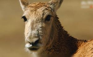 藏羚羊迁徙季:跋涉400公里集结产崽