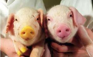 日研究人员用转基因猪探究糖尿病,因为其血糖值等与人类接近