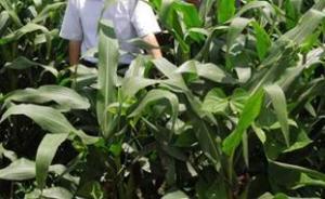 山西专项检查玉米制种田:对发现的非法转基因植株坚决铲除