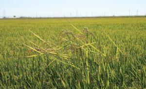 中国科学家揭示杂草稻遗传机制,指导精准防控