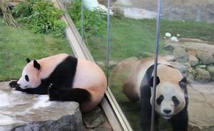 """旅日大熊猫三兄妹将告别和歌山动物园,回国""""谈婚论嫁"""""""