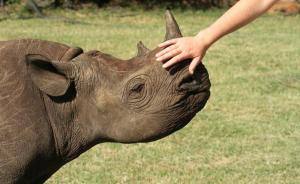 收藏需求威胁南非犀牛种群,马未都呼吁公众拒买犀牛角制品