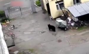 疑俄罗斯黑熊越境,出没居民区四处乱窜