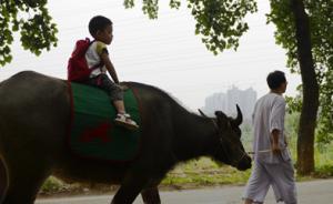"""成都3岁娃骑牛上学,父亲称""""践行国学"""":去银行菜场都骑驴"""