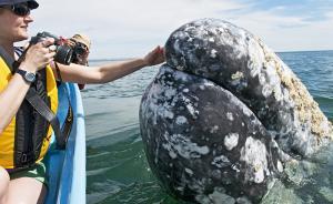 """当地时间2017年7月11日讯,墨西哥下加利福尼亚,一头灰鲸游向观光船主动示好,游客抚摸""""庞然大物""""亲密互动。视觉中国 图"""