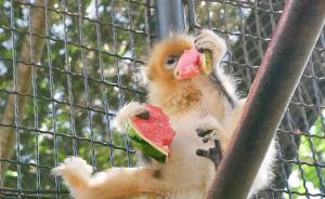 2017年7月12日,济南动物园,金丝猴在吃西瓜解暑。  视觉中国 图