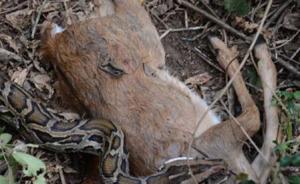 野生蟒蛇威胁坡鹿生存?海南大田面临动物保护之争