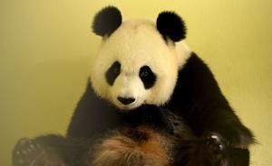 """旅法大熊猫""""欢欢""""诞下双胞胎,其中一幼崽死亡"""