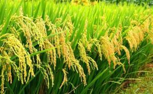 中国科学家发现水稻高产关键基因,料两至三年后能培育出新品