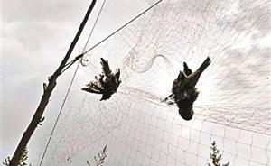 北京通州现30米鸟网:捕鸟人用电子设备引鸟,已被警方抓获