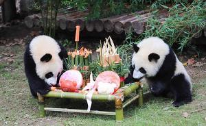 """上海首对龙凤胎大熊猫周岁啦!抓周选了""""算盘""""与""""乒乓拍"""""""