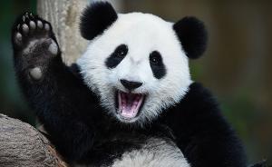 """出生在马来西亚的大熊猫""""暖暖""""将被送回中国"""