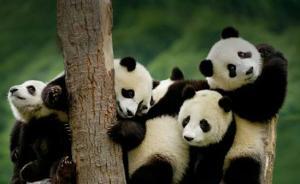 全球圈养大熊猫种群规模达520只,小种群复壮取得初步成果