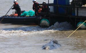 3次搁浅的幼年座头鲸死亡,将制成标本