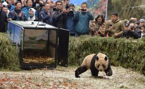 """11月23日上午11点许,两只野化大熊猫""""八喜""""和""""映雪""""正式在雅安石棉县栗子坪国家级自然保护区被放归。图为""""映雪""""跑出笼子。  本文图片 均来自视觉中国"""
