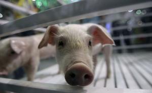 出得实验室却难进厨房:我国转基因动物走向市场仍需公众信心