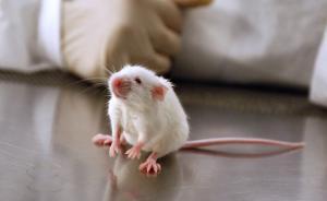 北京国检局:进境实验小白鼠隔离期由30天缩至14天