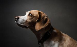 上海中医大6只实验犬求领养,不然安乐死?系流传多地的谣言