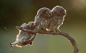 早安·世界|年度搞笑动物摄影大赛揭晓,失足猫头鹰拔得头筹