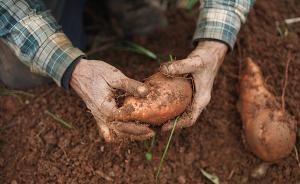 红薯起源进化之谜初解,但被转入的基因在红薯中功能仍不详