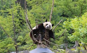 九寨沟震区340只野生熊猫未伤亡,但自然生态系统受影响大
