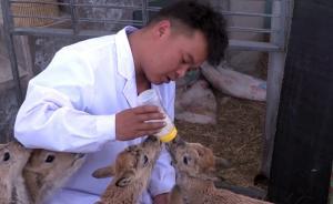 """守护④ 可可西里巡山员也当""""羊爸"""",救助藏羚羊等五百余只"""