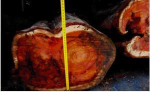 红豆杉·濒危20年①|剥皮挖根屡禁未止,近十年判刑逾千起
