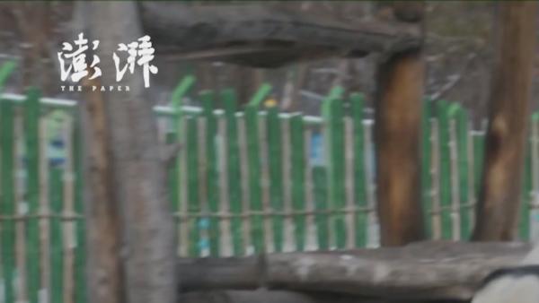 """大熊猫东北雪地撒欢打滚儿""""乐不思蜀"""""""