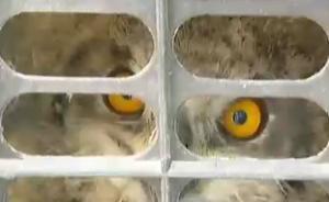 浙江查获229只猫头鹰:大多为雏鸟,数家动物园已分批接收